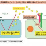 九州大学 ウイルス 糖尿病発見